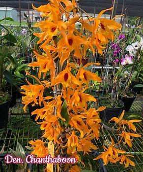 "Орхидея азиатская. Под Заказ! Den. Chanthaboon. Размер:1,7""., фото 2"