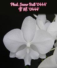 """Орхидея азиатская. Под Заказ! Phal. Snow Ball """"0444"""". Размер: 3""""."""