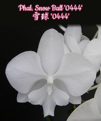 """Орхидея азиатская. Под Заказ! Phal. Snow Ball """"0444"""". Размер: 3""""., фото 2"""