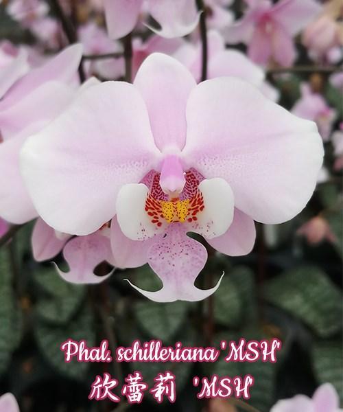 """Орхидея азиатская. Под Заказ! Phal. schilleriana """"MSH"""". Размер:1.7""""."""