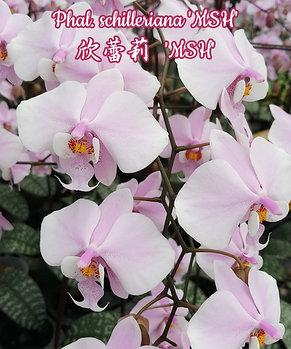 "Орхидея азиатская. Под Заказ! Phal. schilleriana ""MSH"". Размер:1.7""., фото 2"