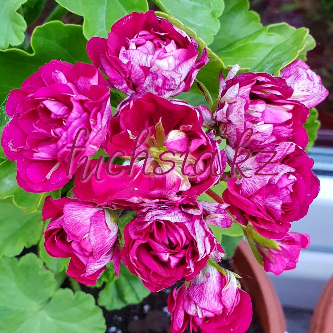 Monseruds Rosen /розебуд
