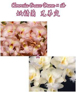 "Орхидея азиатская. Под Заказ! Clowesia Grace Dunn x sib. Размер: 2,5""., фото 2"