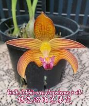 """Орхидея азиатская. Под Заказ! Bulb. lobbii var. clapotense × sib. Размер: 2.5""""."""