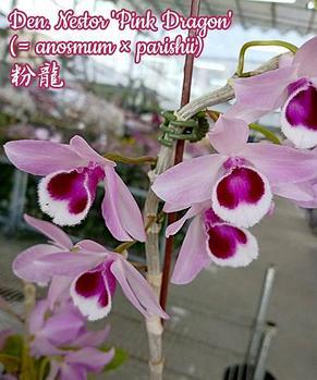 """Орхидея азиатская. Под Заказ! Den. Nestor 'Pink Dragon' ( = anosmum × parishii). Размер: 2.5"""". , фото 2"""