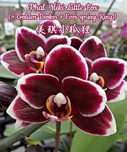 """Орхидея азиатская. Под Заказ! Phal. Miki Little Fox (Golden Peoker × Ever-spring King). Размер: 2.5""""."""