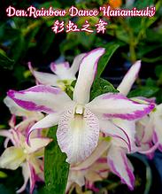 "Орхидея азиатская. Под Заказ! Den. Rainbow Dance ""Hanamizuki"". Размер: 2.5""."