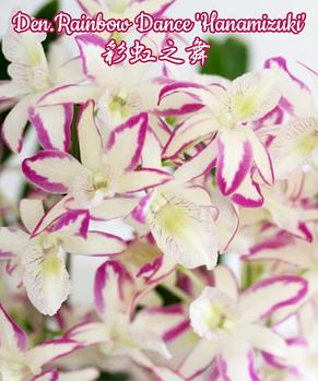 """Орхидея азиатская. Под Заказ! Den. Rainbow Dance """"Hanamizuki"""". Размер: 2.5""""., фото 2"""