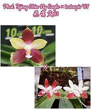 """Орхидея азиатская. Под Заказ! Phal. Tying Shin Fly Eagle × tertaspis """"C1"""". Размер: не указан."""