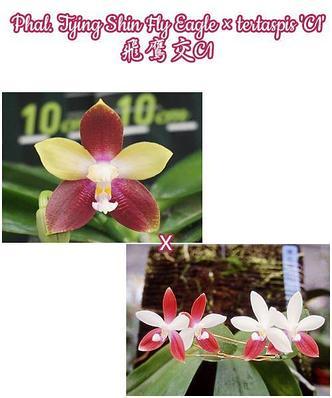 """Орхидея азиатская. Под Заказ! Phal. Tying Shin Fly Eagle × tertaspis """"C1"""". Размер: не указан., фото 2"""