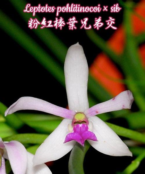 "Орхидея азиатская. Под Заказ! Leptotes pohlitinocoi × sib. Размер: 1.7""."