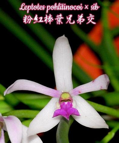"Орхидея азиатская. Под Заказ! Leptotes pohlitinocoi × sib. Размер: 1.7""., фото 2"
