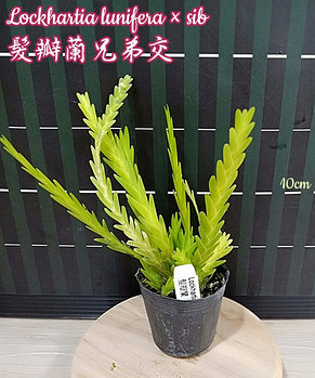"Орхидея азиатская. Под Заказ! Lockhartia lunifera × sib. Размер: 2""., фото 2"