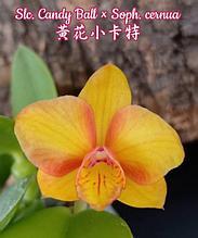 """Орхидея азиатская. Под Заказ! Slc. Candy Ball × Soph. cernua. Размер: 1.7""""."""