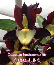 Орхидея азиатская. Под Заказ! Catasetum tenebrosum × sib. Размер: не указан.
