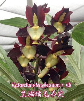 Орхидея азиатская. Под Заказ! Catasetum tenebrosum × sib. Размер: не указан., фото 2