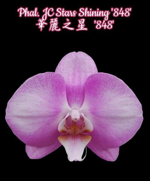 """Орхидея азиатская. Под Заказ! Phal. JC Stars Shining """"848"""". Размер: 3.5""""."""