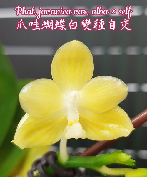 """Орхидея азиатская. Под Заказ! Phal. javanica var. alba × self. Размер: 2.5""""."""