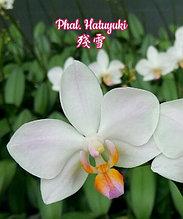 """Орхидея азиатская. Под Заказ! Phal. Hatuyuki. Размер: 3""""."""