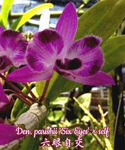"""Орхидея азиатская. Под Заказ! Den. parishii 'Six Eyes' × self. Размер: 2.5""""."""