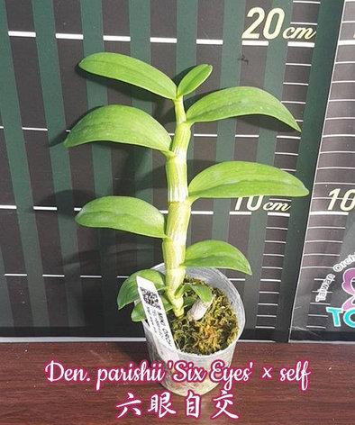 """Орхидея азиатская. Под Заказ! Den. parishii 'Six Eyes' × self. Размер: 2.5""""., фото 2"""