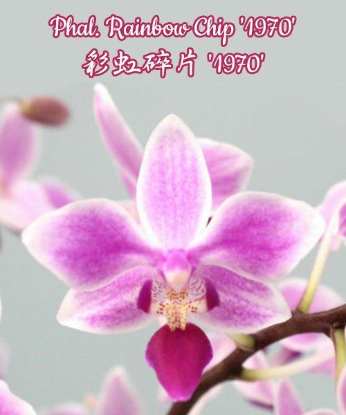 """Орхидея азиатская. Под Заказ! Phal. Rainbow Chip """"1970"""". Размер: 2.5""""/3""""."""