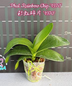 """Орхидея азиатская. Под Заказ! Phal. Rainbow Chip """"1970"""". Размер: 2.5""""/3""""., фото 2"""