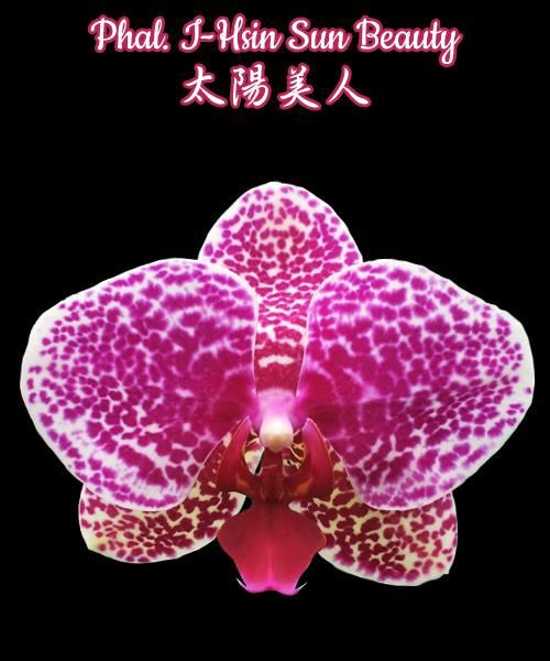 "Орхидея азиатская. Под Заказ! Phal. I-Hsin Sun Beauty. Размер: 3.5""."