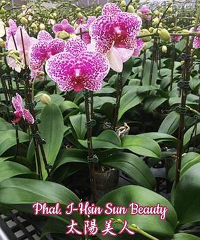 "Орхидея азиатская. Под Заказ! Phal. I-Hsin Sun Beauty. Размер: 3.5""., фото 2"