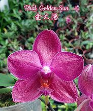 """Орхидея азиатская. Под Заказ! Phal. Golden Sun. Размер: 2.5""""."""