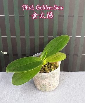 "Орхидея азиатская. Под Заказ! Phal. Golden Sun. Размер: 2.5""., фото 2"