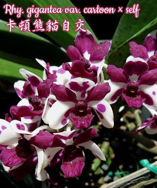 """Орхидея азиатская. Под Заказ! Rhy. gigantea var. cartoon × self. Размер: 1.7""""."""
