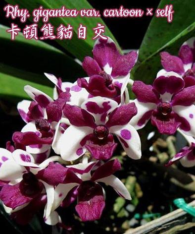 """Орхидея азиатская. Под Заказ! Rhy. gigantea var. cartoon × self. Размер: 1.7""""., фото 2"""