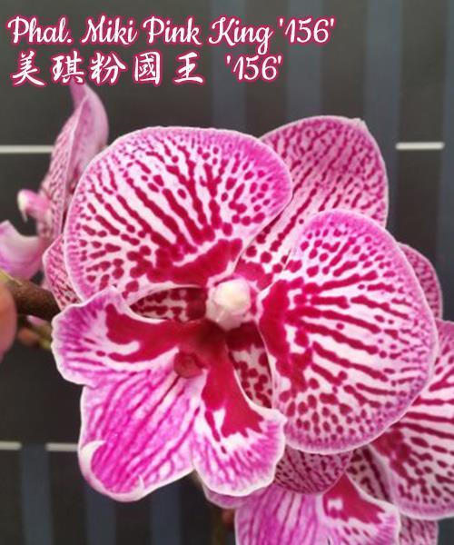 """Орхидея азиатская. Под Заказ! Phal. Miki Pink King """"156"""". Размер: 3""""."""