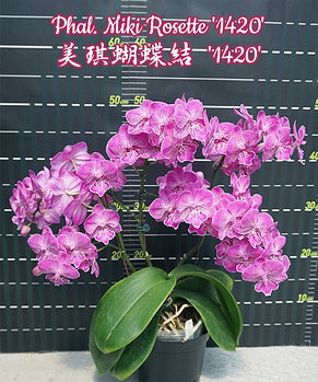 """Орхидея азиатская. Под Заказ! Phal. Miki Rosette """"1420"""". Размер: не указан., фото 2"""
