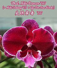 """Орхидея азиатская. Под Заказ! Phal. Miki Dancer """"56"""" (Miki Galaxy """"69"""" × Yu Pin Fire Works). Размер: не указан"""