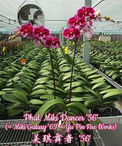 "Орхидея азиатская. Под Заказ! Phal. Miki Dancer ""56"" (Miki Galaxy ""69"" × Yu Pin Fire Works). Размер: не указан, фото 2"