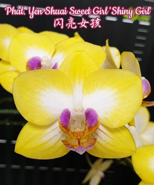 """Орхидея азиатская. Под Заказ! Phal. Yen Shuai Sweet Girl """"Shiny Girl"""". Размер: 3""""."""
