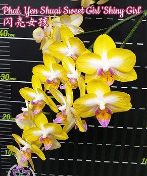 """Орхидея азиатская. Под Заказ! Phal. Yen Shuai Sweet Girl """"Shiny Girl"""". Размер: 3""""., фото 2"""