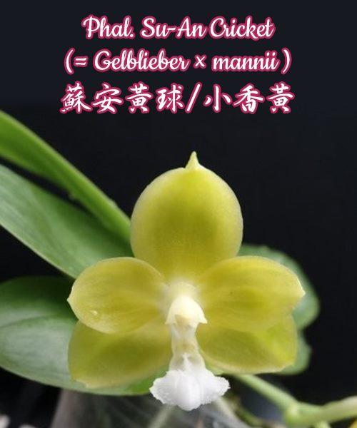 """Орхидея азиатская. Под Заказ! Phal. Su-An Cricket (Gelblieber × mannii). Размер: 2.5""""."""
