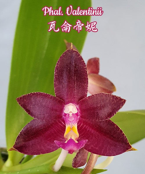 """Орхидея азиатская. Под Заказ! Phal. Valentinii. Размер: 2.5""""."""