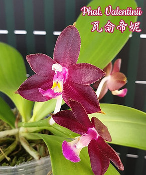 """Орхидея азиатская. Под Заказ! Phal. Valentinii. Размер: 2.5""""., фото 2"""