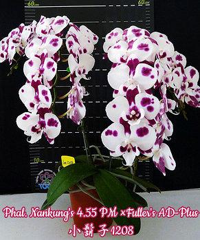 Орхидея азиатская. Под Заказ! Phal. Nankung's 4.55 PM × Fuller's AD-Plus. Размер: не указан., фото 2