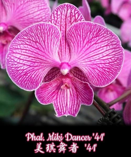 """Орхидея азиатская. Под Заказ! Phal. Miki Dancer """"41"""". Размер: не указан."""