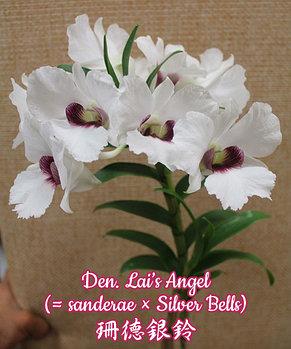 "Орхидея азиатская. Под Заказ! Den. Lai's Angel (sanderae × Silver Bells). Размер: 2.5""., фото 2"