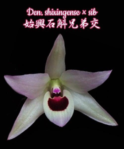 """Орхидея азиатская. Под Заказ! Den. shixingense × sib. Размер: 2.5""""."""