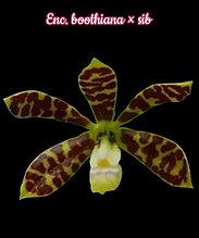 "Орхидея азиатская. Под Заказ! Enc. boothiana × sib. Размер: 2.5""."