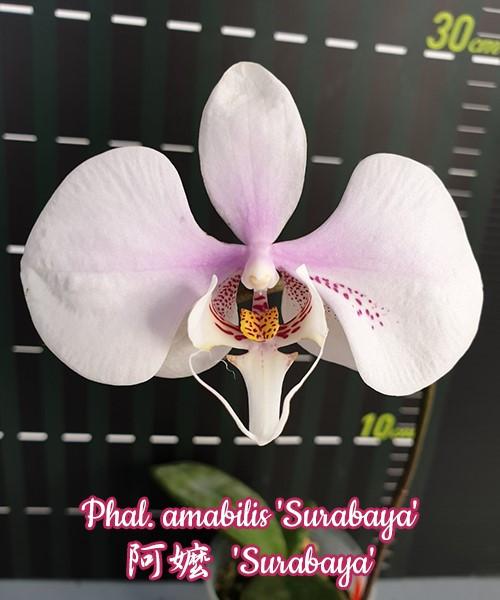 """Орхидея азиатская. Под Заказ! Phal. amabilis """"Surabaya"""". Размер: 2.5""""."""