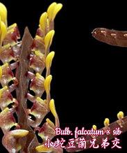 """Орхидея азиатская. Под Заказ! Bulb. falcatum × sib. Размер: 2.5""""."""