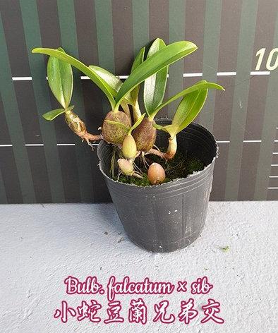 """Орхидея азиатская. Под Заказ! Bulb. falcatum × sib. Размер: 2.5""""., фото 2"""